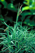 Blue-Gray Sedge