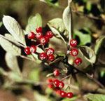 Brilliant Red Chokeberry