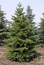 Colorado Green Spruce