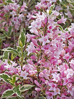 Dwarf Variegated Weigela