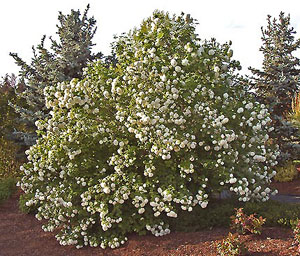 Eastern Snowball Bush
