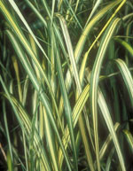 Eldorado Feather Reed Grass