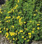 Gold Drop Potentilla