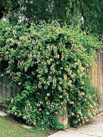 Hall's Honeysuckle