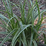 Ice Dance Variegated Sedge