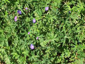 Johnson's Blue Cranesbill