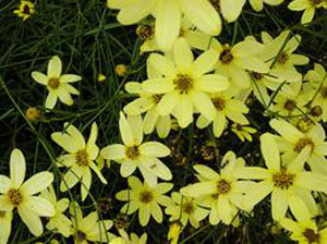 Coreopsis 'Moonbeam'
