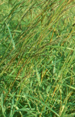 Pawnee Big Bluestem Grass