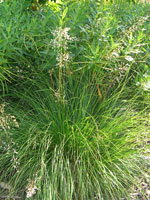 Prarie Dropseed