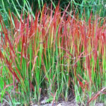 Red Baron Japanese Blood Grass