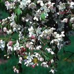 Red Jade Flowering Crabapple
