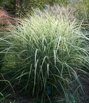 Rigoletto Japanese Silver Grass