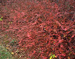 Spreading Cotoneaster