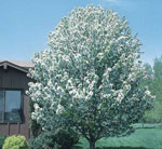 Spring Snow Flowering Crabapple
