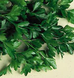 Italian Plain Parsley